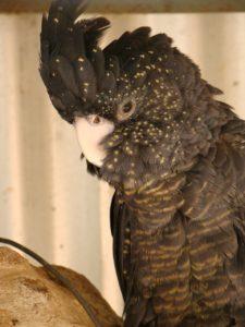 black-cockatoo-274586_1280