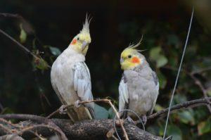 nymph-parakeets-741374_1280